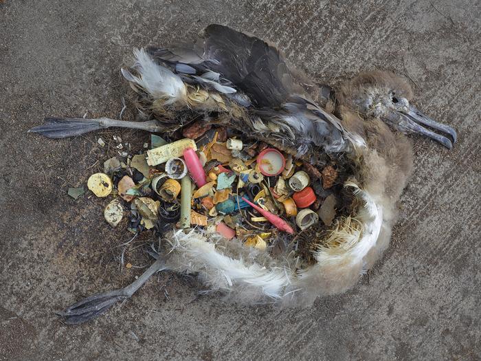Cuerpo de polluelo de albatros, lleno de plástico. Foto de Chris Jordan.
